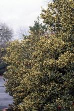 plant habit, unknown yellow variegated selection