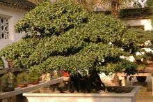 plant habit, bonsai, flowering