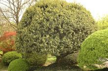 plant habit, sheared, flowering