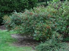 plant habit, late summer, fruiting