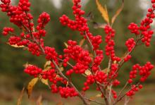 fruit, late fall
