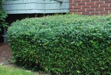 plant habit, hedge, summer