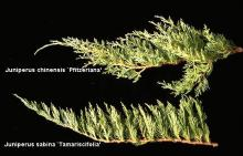 branch, comparison