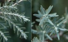 needles (leaves)