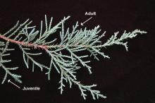 branch, branchlets