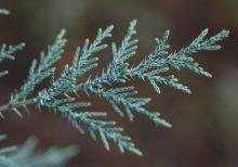 adult branchlets