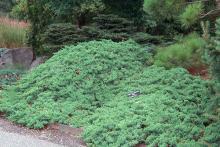 plant habit, mounding plants