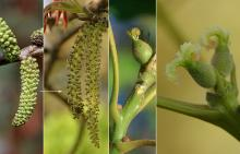 male catkins and female flowers