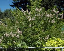 plant habit, summer flowering