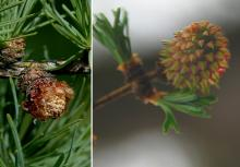 male and female cones, spring