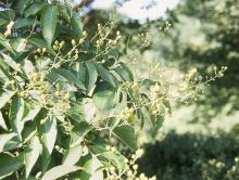 leaves and flower buds