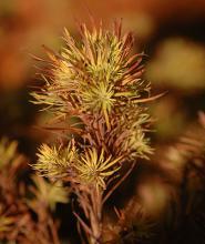 needles (leaves), late fall