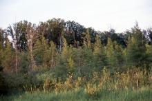 trees, including Eastern Larch, in a Minnesota bog