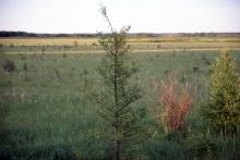 young trees in a Minnesota bog