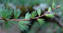 expanding leaf clusters, April