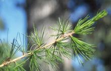 leaf clusters