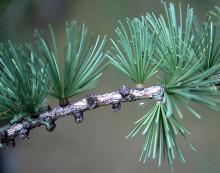 needle clusters