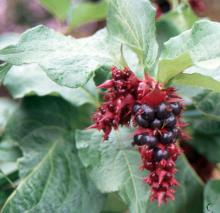 fruit clusters and leaves