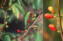 fruiting branches