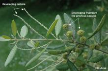 leaves, young catkins and fruit