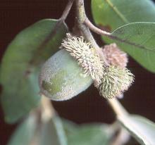 maturing fruit