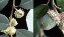 young and maturing fruit