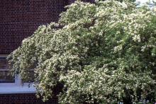 flowering canopy