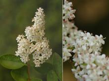 flower cluster and flowers