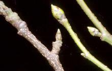 winter buds