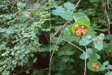 plant habit, in woods