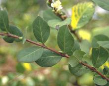 mature leaves, winter