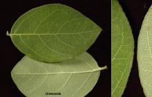 leaf and margin
