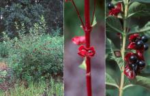 plant habit, fruiting and fruit
