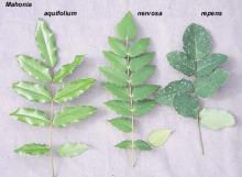leaves, comparison of Oregon native Mahonia