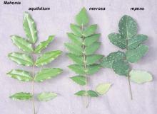 leaves, comparison of Oregon native Mahonia