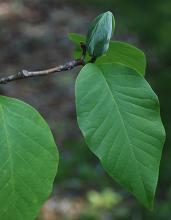 flower bud and leaves