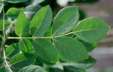 mature leaf