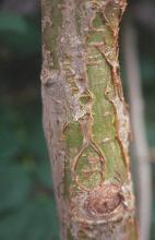 small trunk, bark