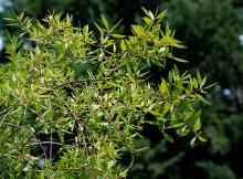 leafy shoots