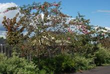 plant habit, flowering young trees