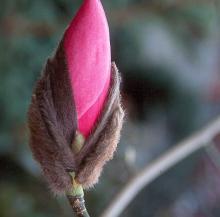 flower bud, opening