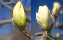 unopened flower