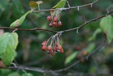 fruit clusters, fall