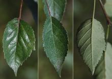 older leaves
