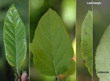 leaves, margin