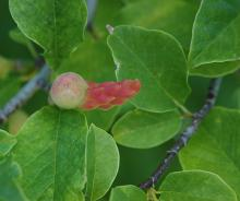 mature fruit and leaves