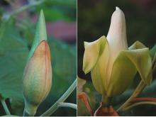 flower, bud and opening