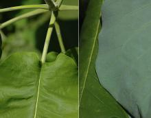 leaf base and underside