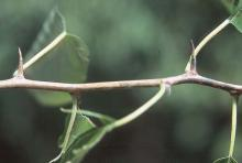 mature spines (thorns)