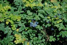 foliage and fruit